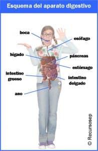 Descárgate el aparato digestivo de PATITO FEO