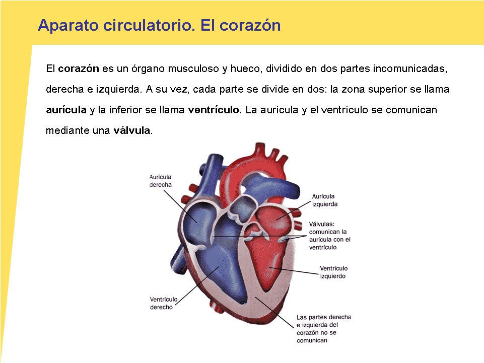 Único Partes Del Corazón Etiquetados Motivo - Anatomía de Las ...