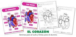 EL CORAZÓN: láminas para el aula y fichas para el alumno (ES/EN)