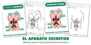 EL APARATO EXCRETOR: láminas para el aula y fichas para el alumno (ES/EN)