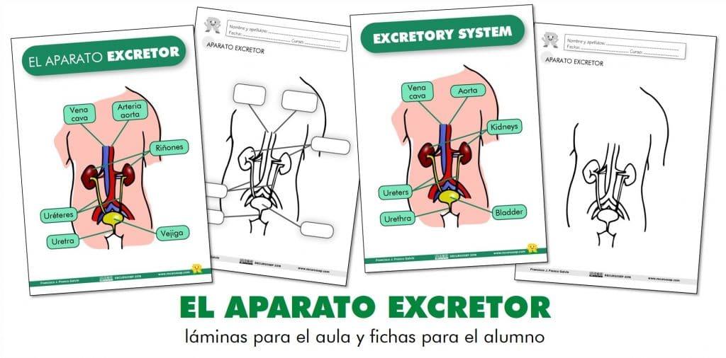 EL APARATO EXCRETOR: láminas para el aula y fichas para el alumno ...